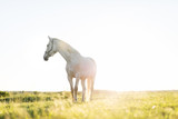 Lonely white horse standing on the grass field in the sunset. - 210051681