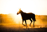 Black horse running in the paddock in the sunset. - 210051866