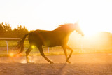 Purebred horse running in the padlock in the sunset. - 210051878