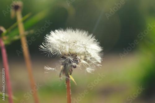 a ray of light pierces a fluffy dandelion - 210052070