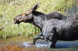 Moose Stepping out of Creek - 210057253