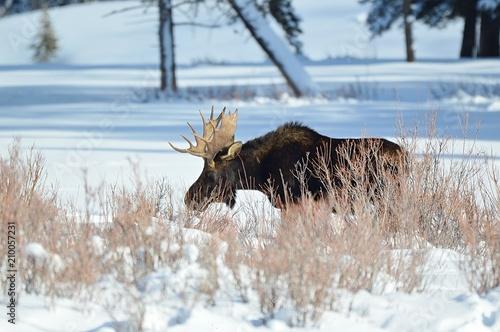 Foto Murales Frozen Moose Walking