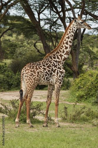 Naklejka Adult Giraffe