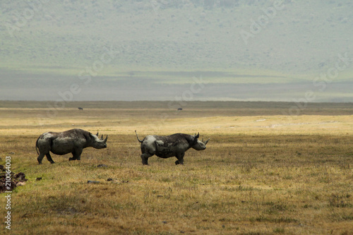 Fotobehang Neushoorn Rhinos