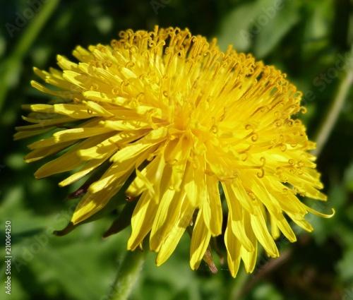 yellow dandelion close-up on a background of green fluffy flower spring summer garden - 210064250