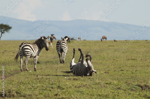 Zebra Rolling on the Grass - 210065403