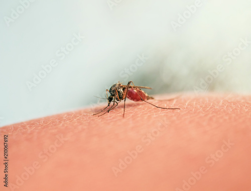 hazardous insect little mosquito had bitten and punctured human skin and drink blood - 210067692