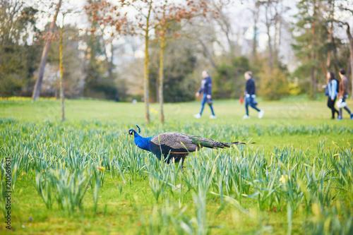 Foto Murales Peacocks and geese in Bagatelle park of Bois de Boulogne in Pari