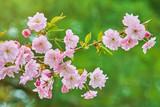 Blossom of Cherry - 210071032