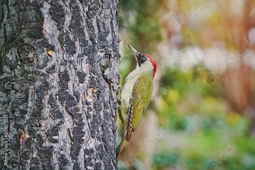 Foto Murales Green Woodpecker on the Tree