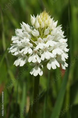 Wild and rare white form of pyramidal orchid inflorescence - Anacamptis pyramidalis - 210080840