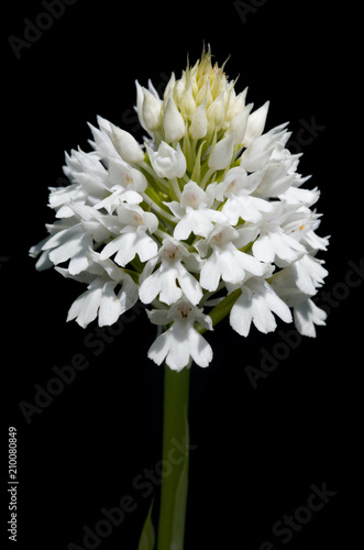 White form of pyramidal orchid inflorescence over black - Anacamptis pyramidalis - 210080849