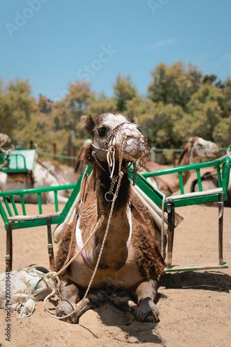 Fototapeta Primer plano de camello mirando a camara
