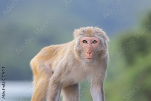 A Macaque at Kam Shan Country Park, Kowloon