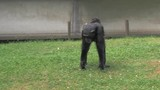 Large female chimpanzee walk with baby on her back in the zoo - 210098299