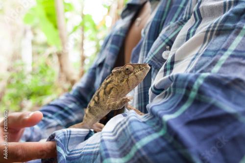 Fototapeta Wild chameleon on a woman's arm wearing a flannel shirt