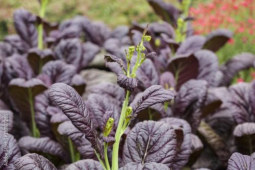 Foto Murales Black leaf plant growing in the field