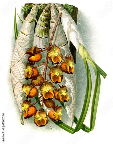 Illustration of orchid - 210111266