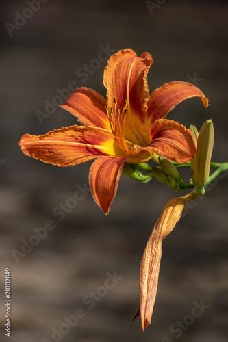 Fototapeta Beautiful flower in summer time