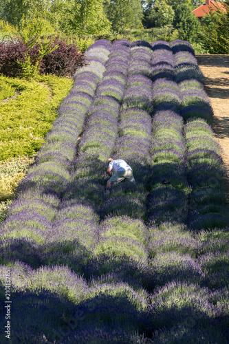 lavender field © wjarek