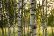 birch summer nature landscape with light of morning sun - 210117647