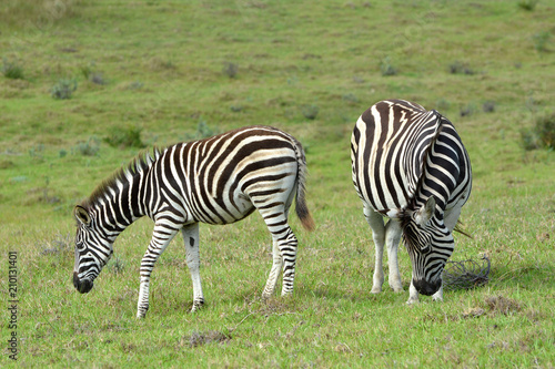 A pregnant Zebra with foal grazing in the wild in South Africa. - 210131401