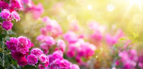 Leinwanddruck Bild Spring or summer floral background; pink rose flower against the sunset sky