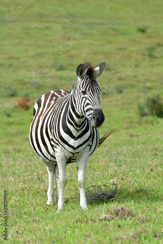 Full body of a highly pregnant Zebra standing and staring with alert facial expression in South Africa. - 210139069