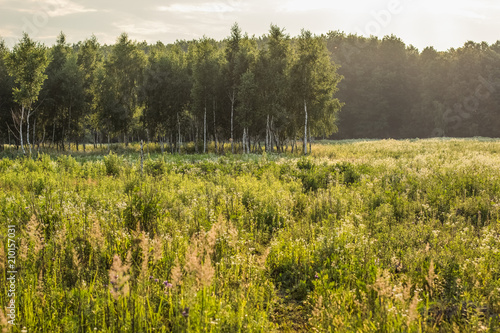 Fotobehang Honing birch forest nature landscape in summer morning time with nobody