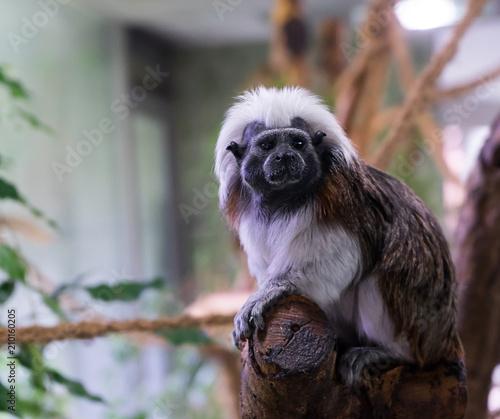 Aluminium Aap Little Ape sitting on a tree in Hellabrunn Zoo Munich