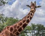 Giraffe portrait - 210174041