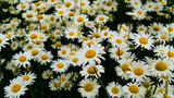 Large Daisy Flower Field, White and Yellow Floral Background