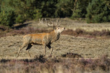Red Deer stag in rutting season in National Park Hoge Veluwe in The Netherlands - 210194697