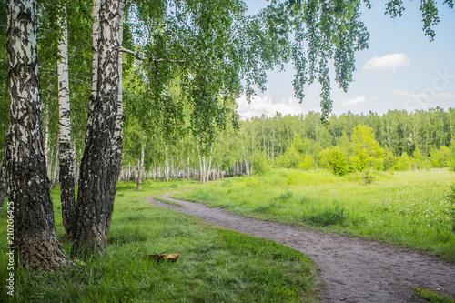 Foto Spatwand Berkenbos summer birch forest
