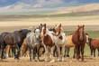 Herd of Wild Horses in Utah in Summer