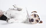 Jack Russel lying ill © pfluegler-photo