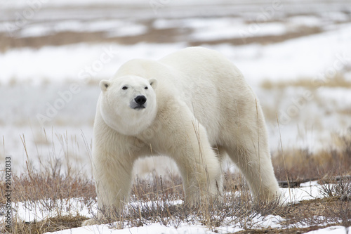 Canvas Ijsbeer Polar Bear in Hudson Bay near the Nelson River