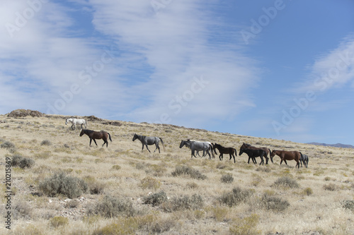 Onaqui Herd wild mustangs in the Great Desert Basin, Utah USA