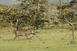 Lone Warthog - 210231897