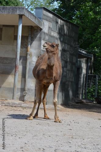 Fototapeta wild camel