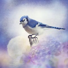 Blue jay in Flower garden