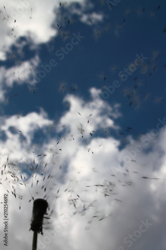 faded dandelion over sky background, in a natural environment - 210254692