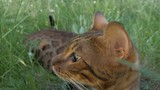 Bengal cat walks in the grass. He shows different emotions. The cat looks away. Ears on the vertex, pointing forward: the cat is in a good mood, ready for the game. - 210260876