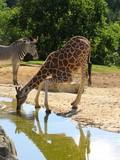 girafe - 210269212