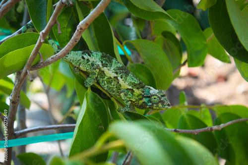 Aluminium Kameleon Chameleon