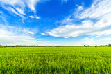 Beautiful green cornfield with fluffy clouds sky background. - 210283638