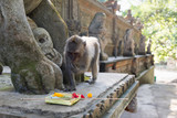 Monkey checks offerings near the temple in Indonesia - 210286218