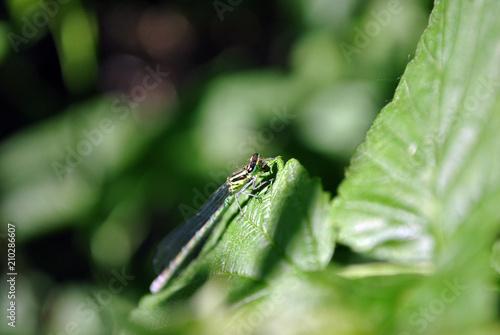 canvas print picture The Irish damselfly or crescent bluet (Coenagrion lunulatum) male sitting on green raspberry leaves, soft dark green blurry background