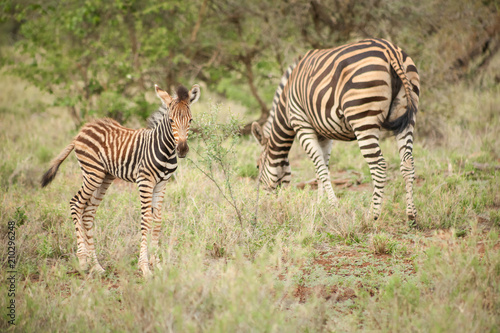 African Zebra Mother and Calf in a South African game reserve - 210296248