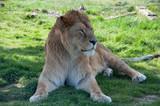Lion à Planète sauvage